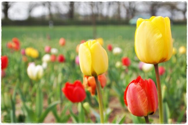 Tulpenliebe...