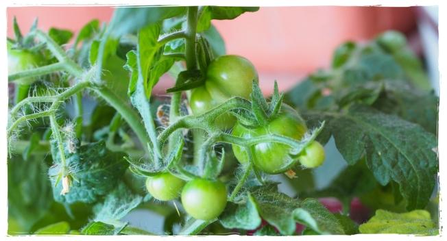 Tomatenbabys